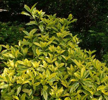 aucuba japonica 39 variegata 39 aucuba japonica 39 gold dust. Black Bedroom Furniture Sets. Home Design Ideas