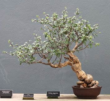 Bursera fagaroides 5 form