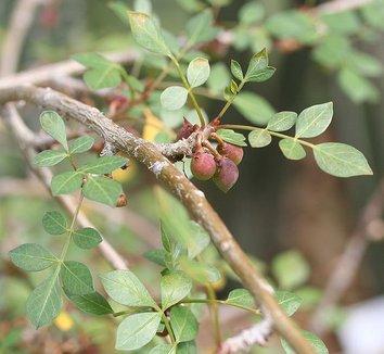 Bursera fagaroides 1