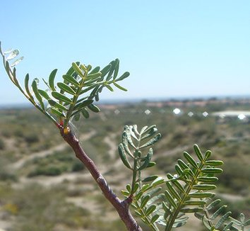 Bursera microphylla 4