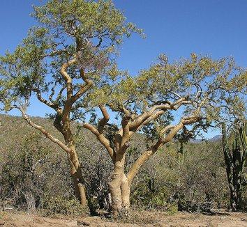 Bursera microphylla 5 form