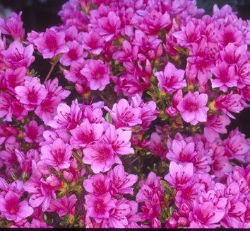 Azalea 'Tina' 6 flower