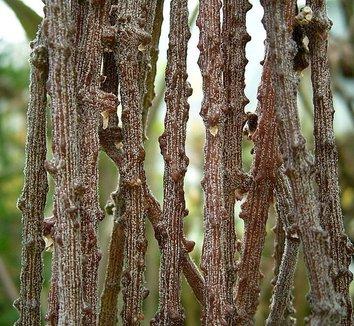Cynanchum marnierianum 2 form