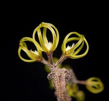 Cynanchum marnierianum 1 flower