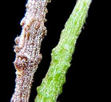 Cynanchum marnierianum 3