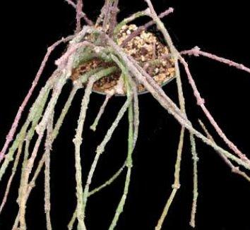 Cynanchum marnierianum 6