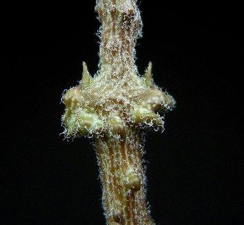 Cynanchum marnierianum 10 form