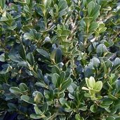 Buxus 'Green Mountain'