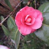 Camellia 'April Kiss'