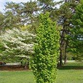 Carpinus betulus 'Frans Fontain'