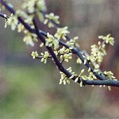 Cercis canadensis 'Alba'