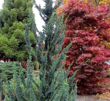 Chamaecyparis lawsoniana 'Wissel's Saguaro' 1 form