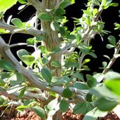 Fouquieria formosa