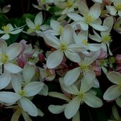 Clematis 'Apple Blossom'
