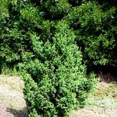 Cryptomeria japonica 'Black Dragon'