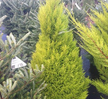 Cupressus macrocarpa 'Goldcrest' 4 form