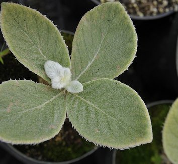 Sinningia leucotricha 2