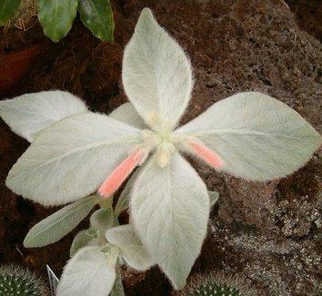 Sinningia leucotricha 3