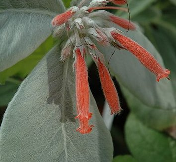Sinningia leucotricha 5 flower