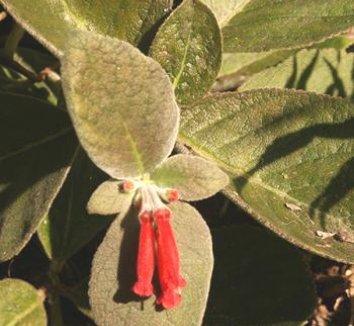 Sinningia leucotricha 1 flower