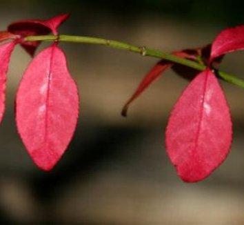 Euonymus alatus 6