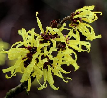 Hamamelis x intermedia 'Angelly' 6 flower