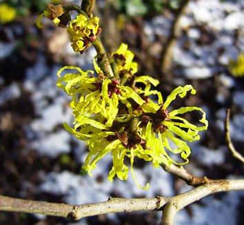 Hamamelis x intermedia 'Angelly' 5 flower