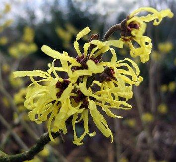 Hamamelis x intermedia 'Angelly' 2 flower
