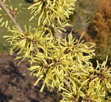 Hamamelis x intermedia 'Angelly' 7 flower