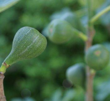 Ficus carica 2 fruit
