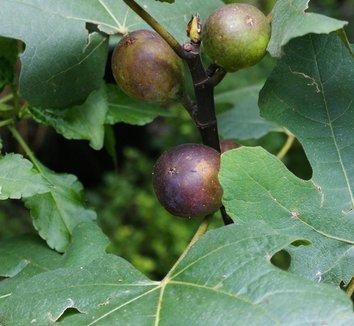 Ficus carica 7 fruit