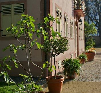 Ficus carica 8