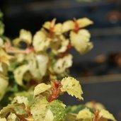 Hydrangea anomala ssp. petiolaris 'Kuga Variegated' PP13247