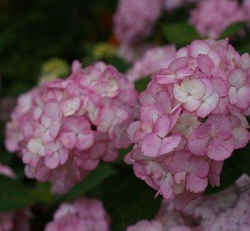 Hydrangea 'Preziosa' 2 flower