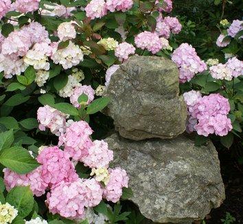 Hydrangea 'Preziosa' 1 flower