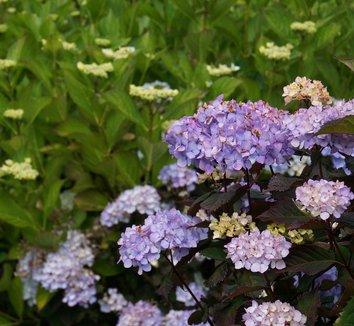 Hydrangea 'Preziosa' 12 flower