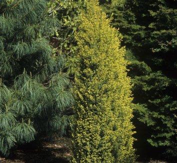 Juniperus communis 'Gold Cone' 1
