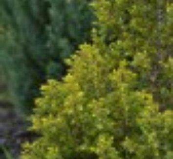 Juniperus communis 'Gold Cone' 2