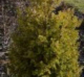 Juniperus communis 'Gold Cone' 4