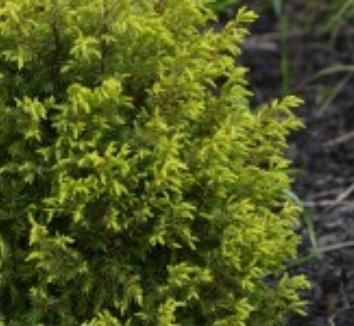 Juniperus communis 'Gold Cone' 6