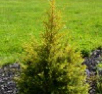 Juniperus communis 'Gold Cone' 8