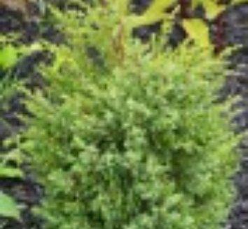 Juniperus communis 'Gold Cone' 10