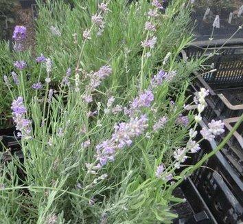 Lavandula angustifolia 'Munstead' 1 flower