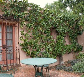 Magnolia grandiflora 2