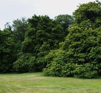 Magnolia grandiflora 4 form