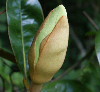 Magnolia grandiflora 7