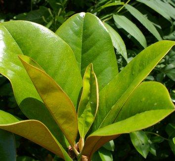 Magnolia grandiflora 6