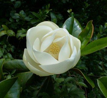 Magnolia grandiflora 10 flower