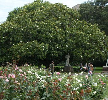 Magnolia grandiflora 1 form, landscape