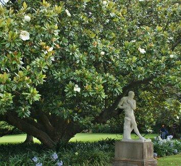 Magnolia grandiflora 15 landscape